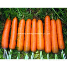 100g and up New Crop Carrot